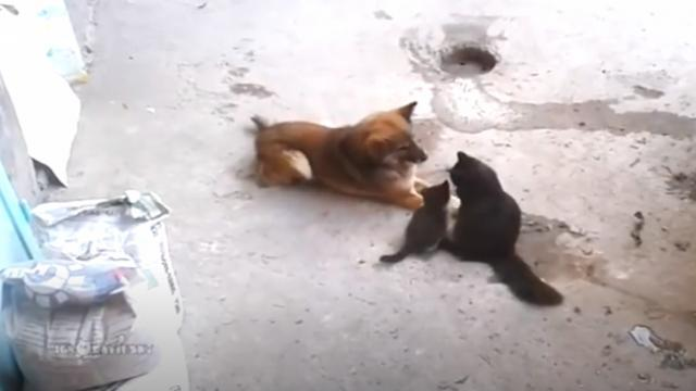 Cat brings her kittens over to meet a surprising old friend