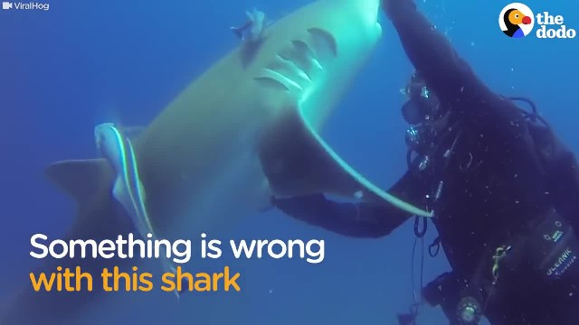 Diver doesn't understand shark's urgent message until 1 look at belly confirms scary truth he missed