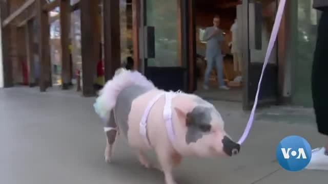 Porkchop The Pig Wins Los Angeles Hearts