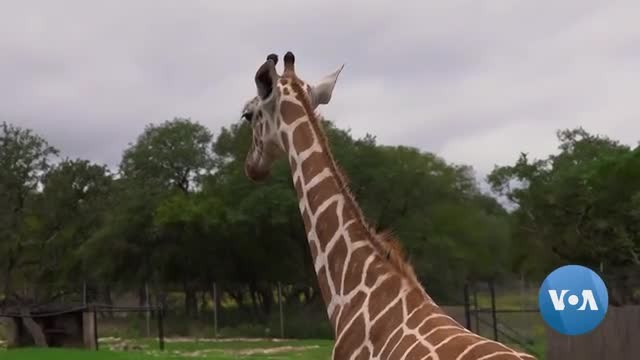 San Antonio Wildlife Ranch Celebrates, Protects Endangered Animals