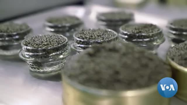 Idaho Sturgeon Farm Produces Caviar for US Market