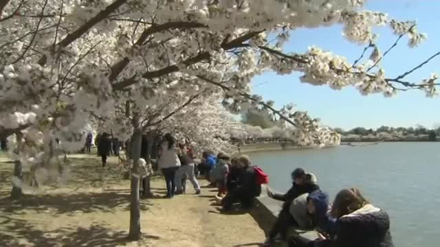 Washington Abloom with Cherry Blossoms