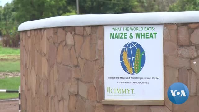 Drought-Tolerant Maize to Help Zimbabwe Weather Climate Change