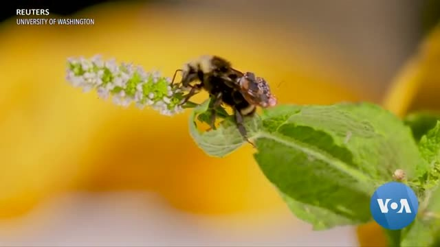 Bees With Circuit Board Backpacks Inform Researchers