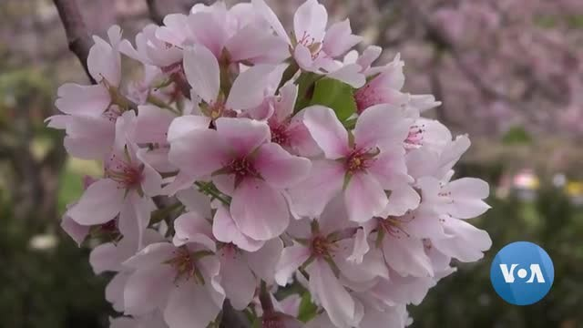 Cherry Blossoms Put on Spectacular Show in Maryland Neighborhood
