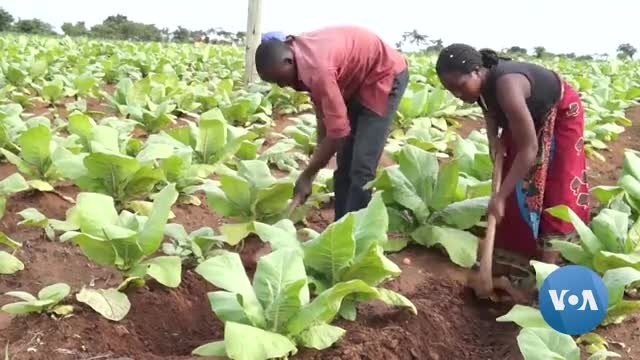 Malawi Looks to Cannabis to Supplement Lost Tobacco Earnings