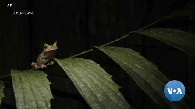 Thought Extinct, Horned Frog Rediscovered in Ecuador Rainforest